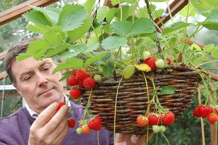 Consejos para cultivar fresas en macetas