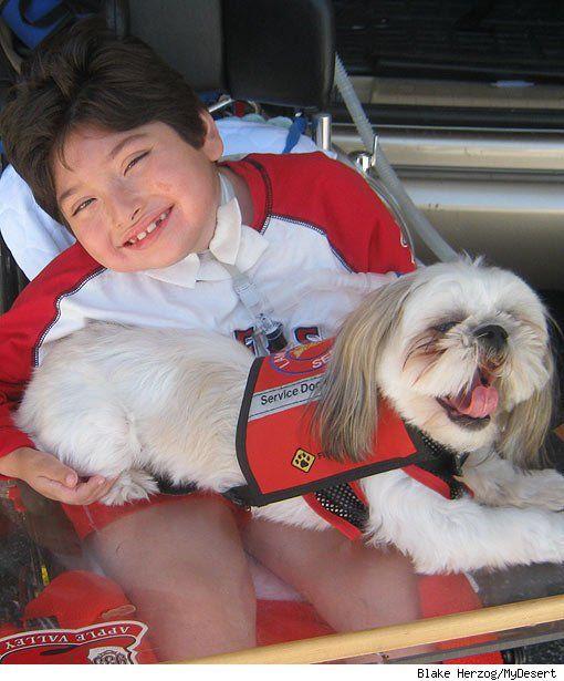 Shih Tzu Service Dog Goldenacresdogs