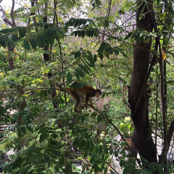 Nuestro compañero de trabajo hoy en @arenasdelmarcr.  #spherasostenible #ilivewhereyouvacation #tuesday #nofilter #puravida #ilwyv #paradise #photooftheday #thisiscostarica #discovercostarica #sustainability #nature #sostenibilidad #proyectos #sitevisits #work #monkey #coworker #likesforlikes #travel #traveleveryday #transformationtuesday Re-post by Hold With Hope