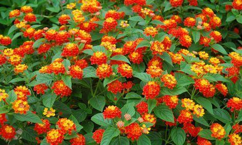 Lantana camara: Es una planta de hoja caduca. Mide de 1 a 3 metros de largo, crece muy rápido a pleno sol. Florece ampliamente de octubre a abril y es una de las favoritas de la primavera para muchas familias.