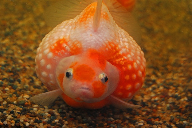 Very chubby pearlscale goldfish pinterest goldfish for Is fish high in cholesterol