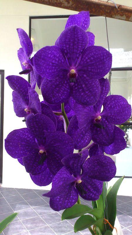 asco somsri thai spot green spot | Vanda Thailand Beauty Vanda Pachara Delight
