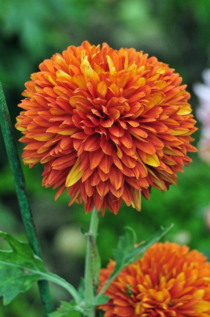 98 Best Images About Captivating Chrysanthemums On