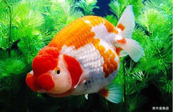 Kingyo goldfish i am an eating machine goldfish fresh for Japanische kampffische