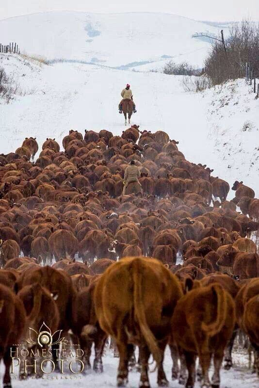 Cattle drive    Been there, done that..LOVED IT!!!!
