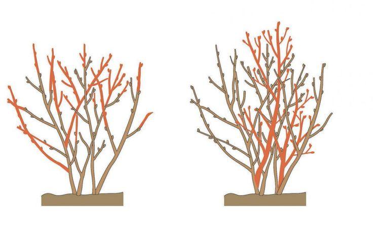die besten 25 heidelbeerstr ucher pflanzen ideen auf pinterest heidelbeerpflanze anbau von. Black Bedroom Furniture Sets. Home Design Ideas