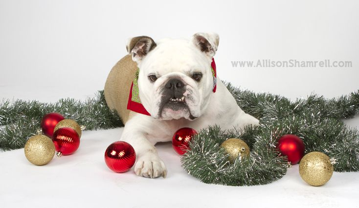 christmas pet portraits - Google Search