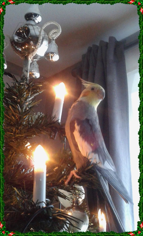 Onze Valkparkiet zoekt de kerstboom weer even op....
