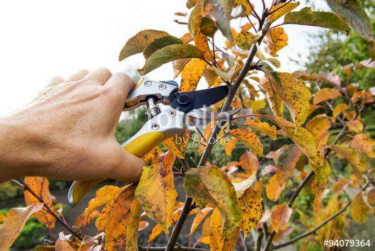 Санитарная обрезка сада осенью. При проведении санитарной обрезки всегда срезайте побеги «на кольцо» без пенька, побеги с палец толщиной удаляйте секат... - Дачный портал - Google+