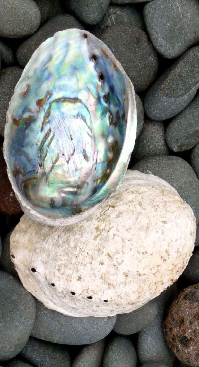 The shells of two New Zealand Paua