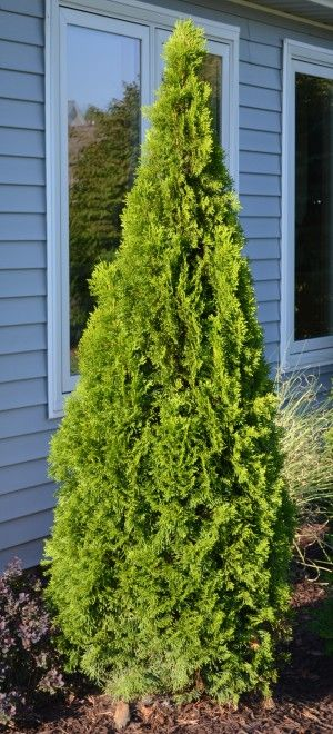 Emerald Green Arborvitae is an excellent plant, a great choice when looking for a narrow, upright evergreen that doesn't get too tall.  This evergreen has an interesting color.  Instead of the really dark green color that many arborvitae have, this plant is a lighter green with what appears to be a bit of a gold tinge to the foliage.