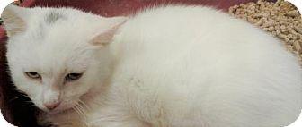 Corona, CA - Russian Blue. Meet RAYNE, a kitten for adoption. http://www.adoptapet.com/pet/17844765-corona-california-kitten
