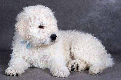 komondor-puppy