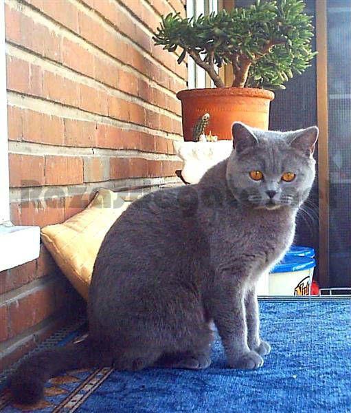 www.razasdegato.net gato-britanico-de-pelo-corto