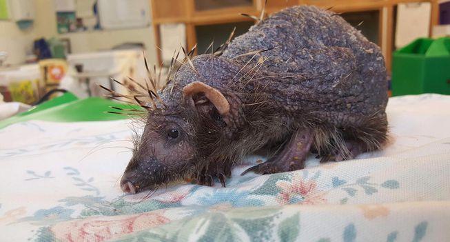 How Do You Help A Hedgehog Regrow Spines