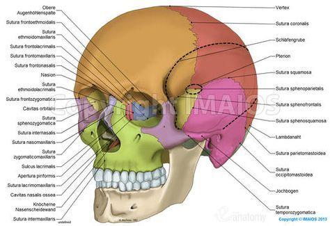 Anatomie des Schädels: anatomische Illustrationen: Suturae cranii, Ossa cranii, Scheitelbein, Stirnbein, Hinterhauptsbein, Keilbein, Schläfenbein, Siebbein, Untere Nasenmuschel, Nasenbein, Oberkieferbein, Jochbein, Unterkieferbein