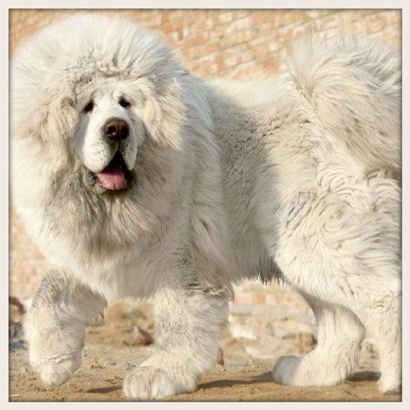 Tibetan Mastiff | ... ♥ ♥ღ : The World's Most Expensive Dog: Tibetan Mastiff