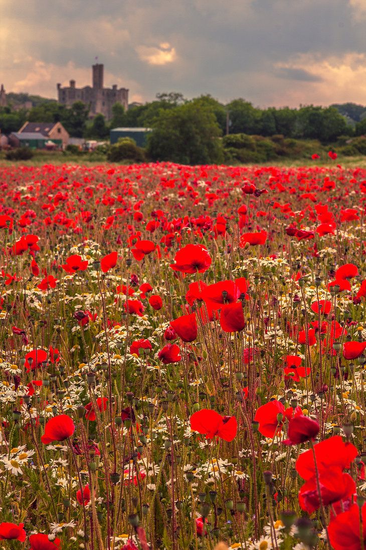 """lovingtheuk: """" Poppy Field taken at Warkworth, Northumberland, England with Warkworth Castle in the background """""""