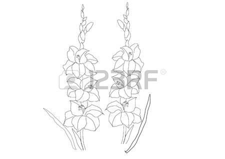 Gladiolus flowers line drawing  vector illustration