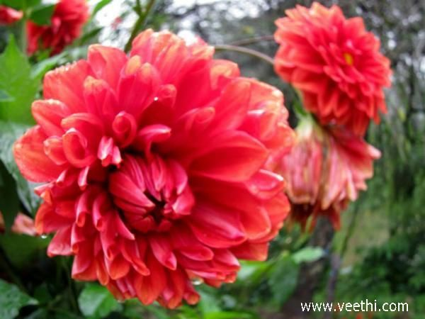 Beautiful Red Dahlia Flower in Munnar | Veethi
