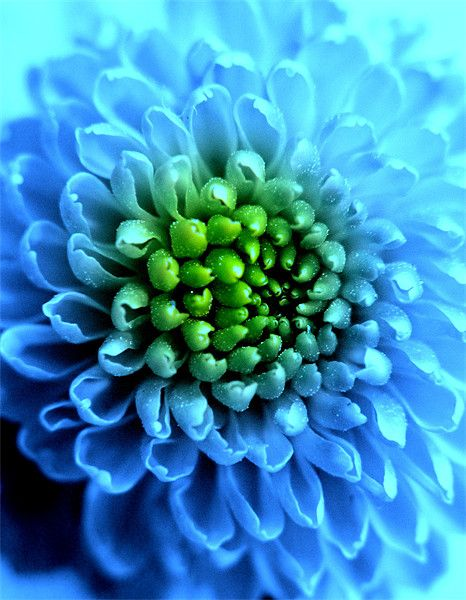Chrysanthemums Blue Pictures
