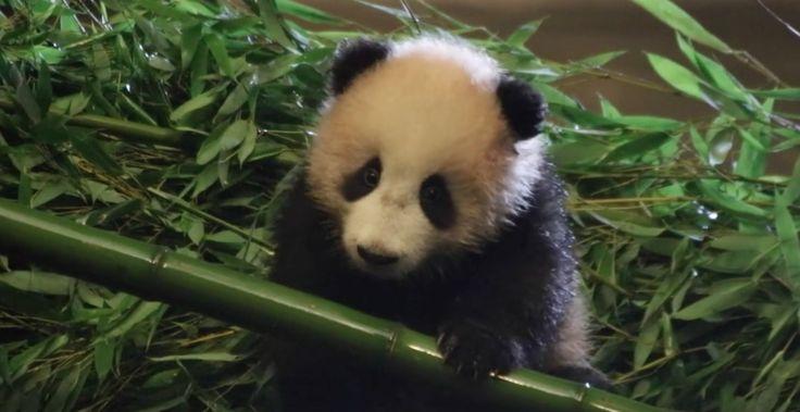 Depuis sa naissance il y a maintenant un peu plus de quatremois, Tian Bao le bébé panda de Pairi Daiza ne cesse de nous attendrir. Une nouvelle vidéo de lui a fait son apparition sur la page Facebook du parc à l'occasion de la fête d'Halloween. Elle nous permet de découvrir un petit panda de …