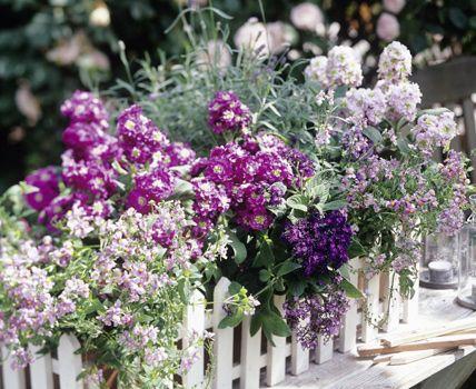 Balkonkasten mit Elfenspiegel, Vanilleblumen und Lavendel