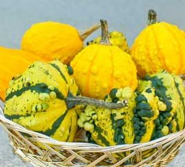Ornamental Gourds in the Garden..I have wonderful luck with colorful, oddly shaped ornamental gourds classified as Cucurbita pepo var. ovifera. Closely related to summer squash (a fully ripe yellow crookneck squash is a gourd), ornamental gourds can make a good crop in a 100-day growing season.