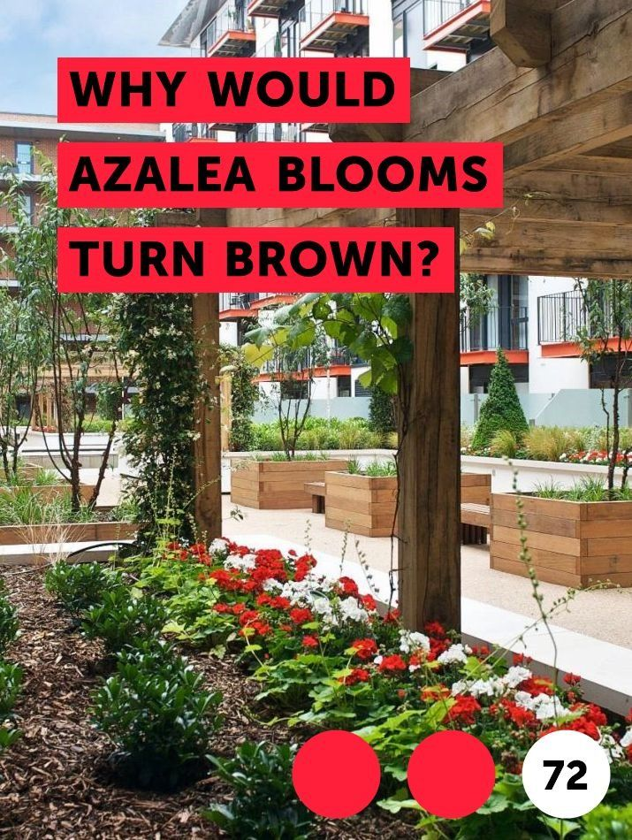 Learn Why Would Azalea Blooms Turn Brown How To Guides Tips And Tricks Plants Dappled Willow Tree Planting Sunflowers