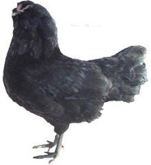 Appenzeller Barthuhner Chicken: Appenzel Canton, Chicken Breeds, Barthuhn Chicken, Appenzel Barthuhn, Chicken S Chicken Coops Eggs, Chickenschicken Coopsegg