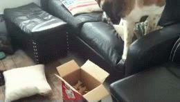 19마리의 용감한 척하는 덩치만 큰 개들 과자가 먹고 싶지만, 박스가 너무 무서워용