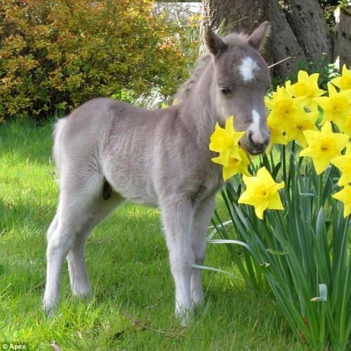 miniature pony ... not much taller than the daffodils JONNY WILL BUY ME ONE DAY