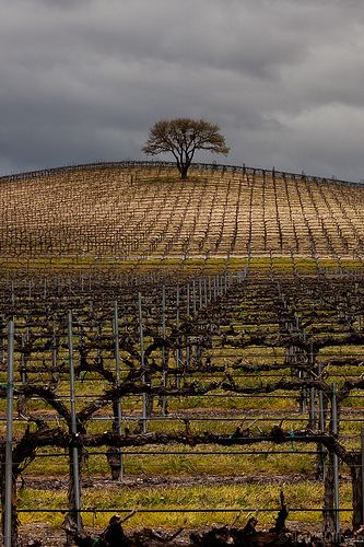 Vineyard Tree | by Jeffrey Sullivan