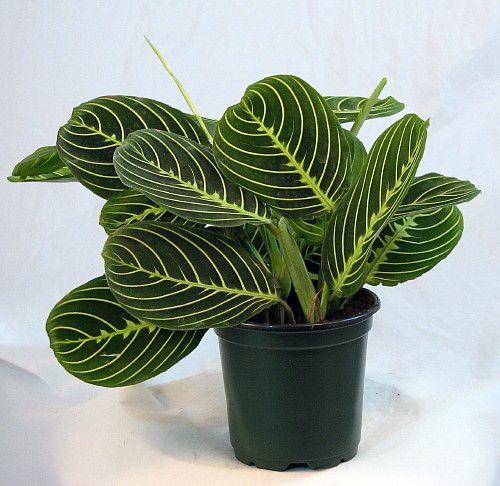 Disciples Prayer Plant   Maranta   Easy to Grow   4 Pot