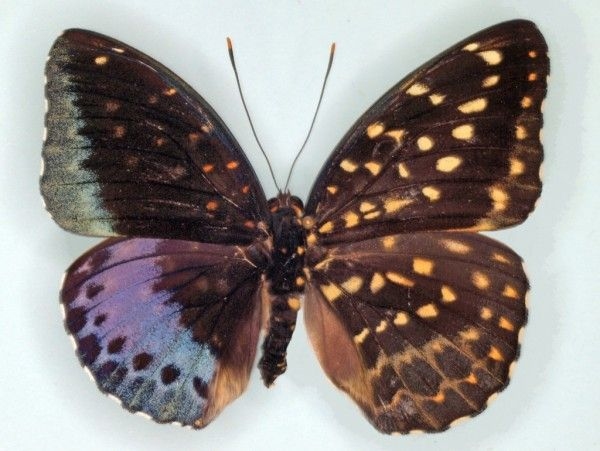 This butterfly born at a butterfly exhibit in Philadelphia is half male, half female - a condition called gynandromorphism.