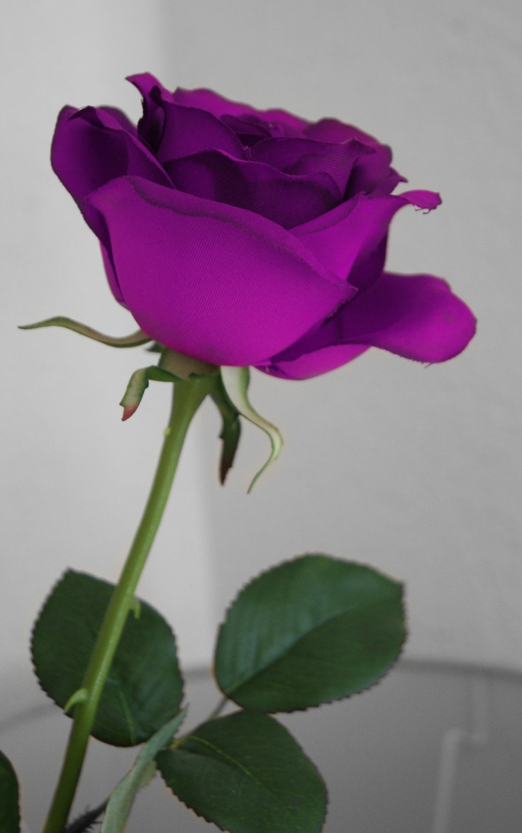 Purple rose rose thorns beauty and the beast for Purple rose pictures