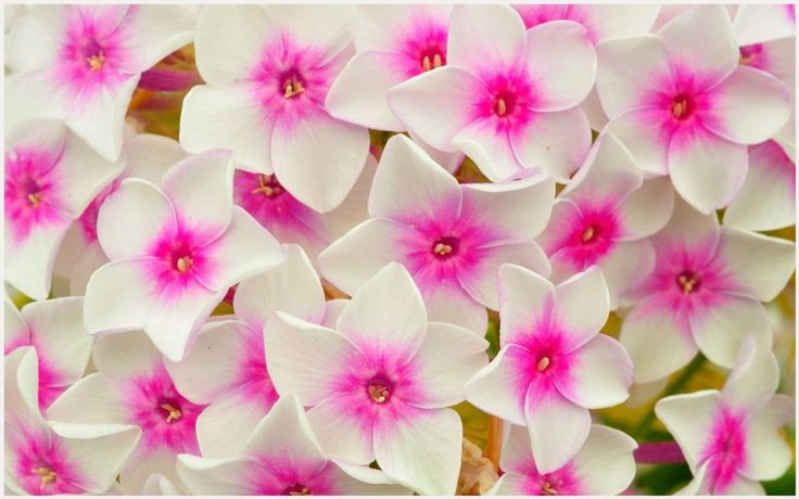Pink And White Flowers Wallpaper | pink and white flowers wallpaper