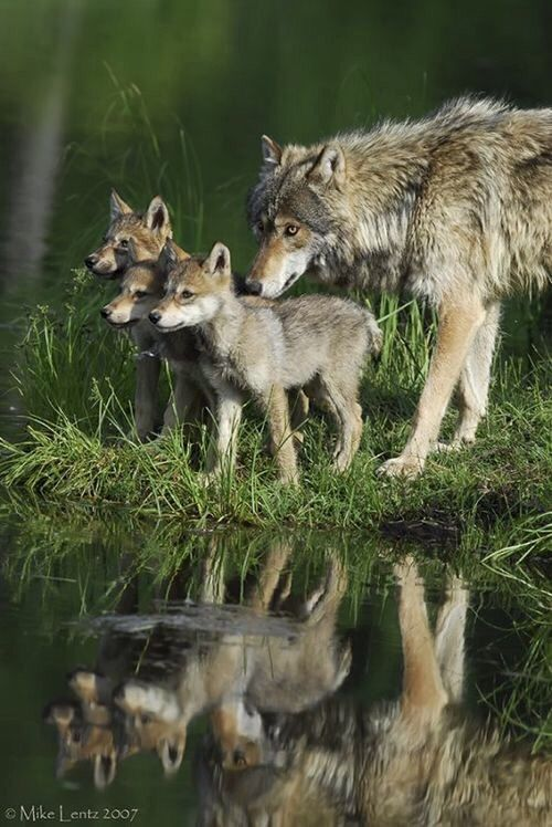 Wolf with cubs                                                                                                                                                                                 Plus
