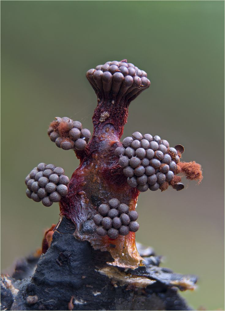 Metatrichia vesparium Nightmare fungus from hell