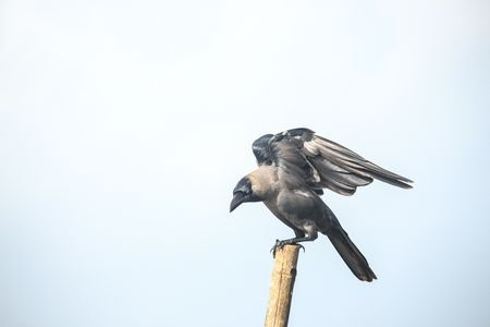 Crow Ready for Fly Photo by Somnath Bhalke — National Geographic Your Shot