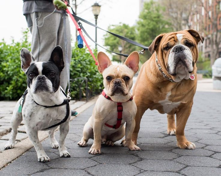 "Ava Oliver & Toro French & English Bulldogs Battery Park City Esplanade New York NY  ""They're all from separate families."" #thedogist"