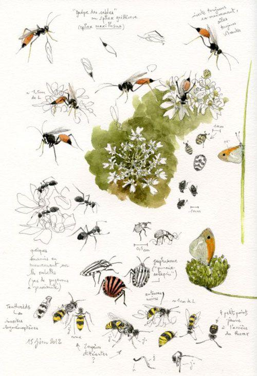 Les insectes de la grande berce. Nantes, 11 juin