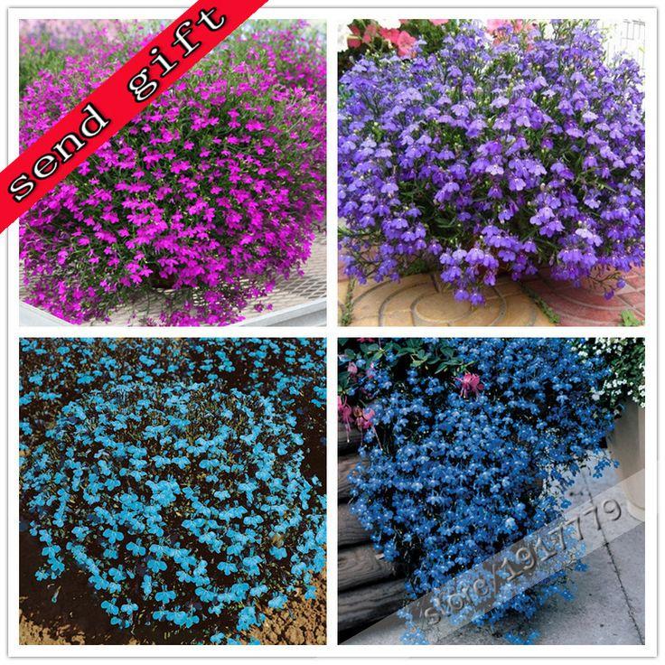 100%true lobelia seeds Rare indoor flower seeds in Bonsai,Chlorophytum flower seeds for Perennial Home Garden Plants100pcs/bag