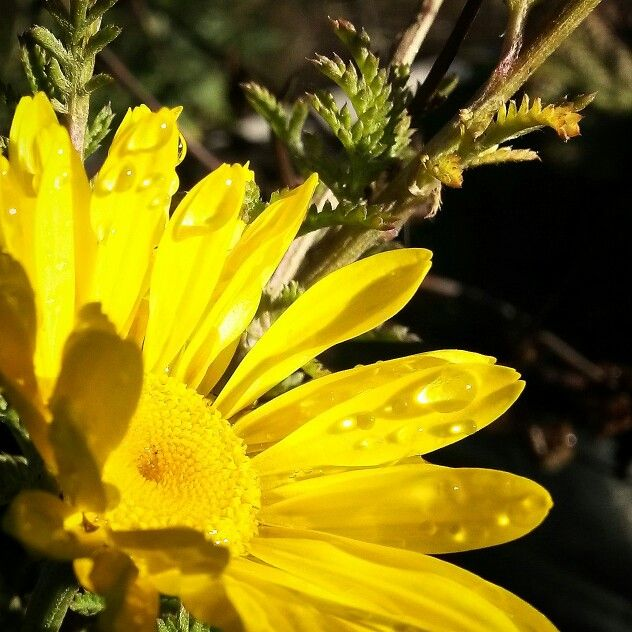 Dyers Chamomile is steadfast in providing bright flowers in a Tasmanian Autumn garden