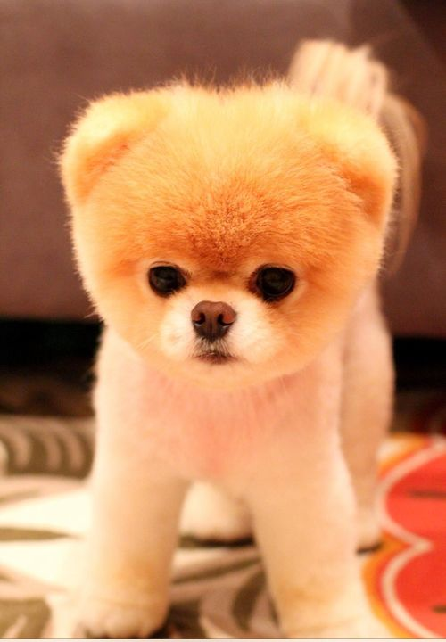 Cutest thing ever ! | Animals | Cute dogs, Chubby puppies ...