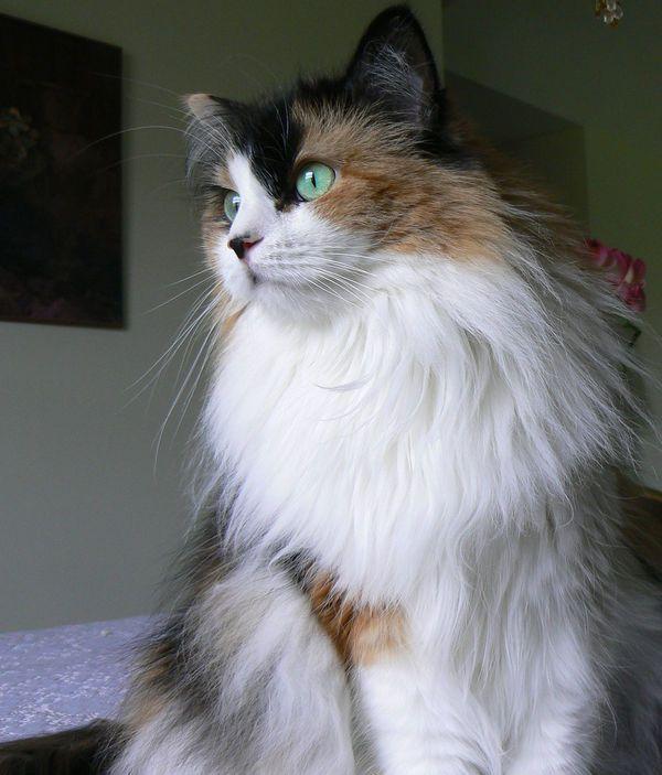Calico Maine Coon Cat.