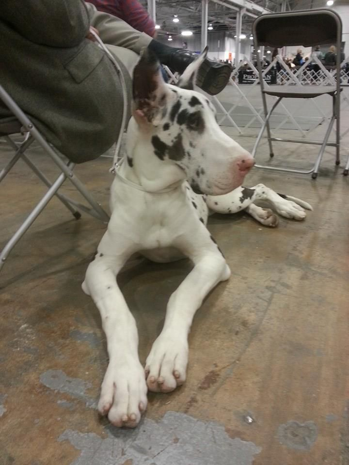 Delby, a 7 month old Harlequin Great Dane, relaxes with her dad after competing at the National Dog Show