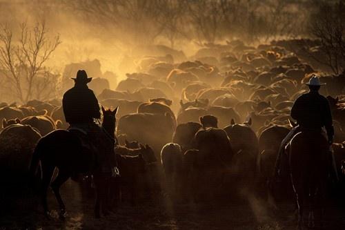 Cattle Roundup | Joe McNally