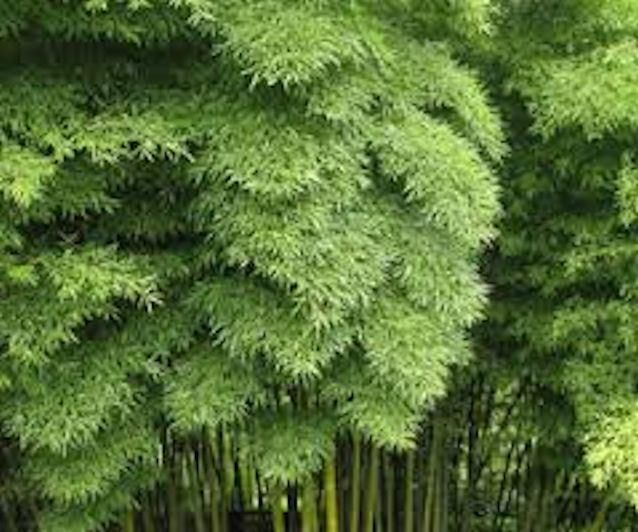 Moso Bamboo seeds