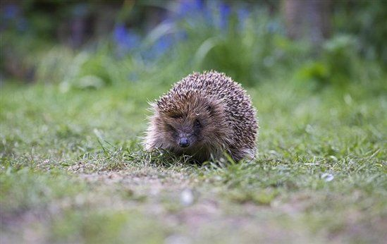Now that spring is well and truly here, one of our garden favourites - the hedgehog - should be waking up after a long winter's sleep. The first thing on a hedgehog's to do list? Find food! Unfortunately, sometimes there just isn't enough food about to do the job, but you can help by supplementing hedgehogs' diets with some of our new cranberry crunch hedgehog food #homesfornature
